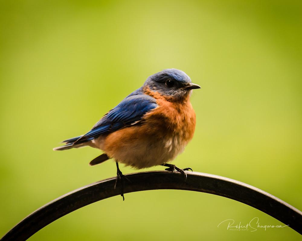Proud Bluebird | Shop Prints | Robert Shugarman Photography