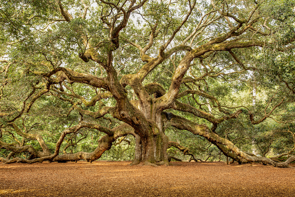 angel-oak-tree-01