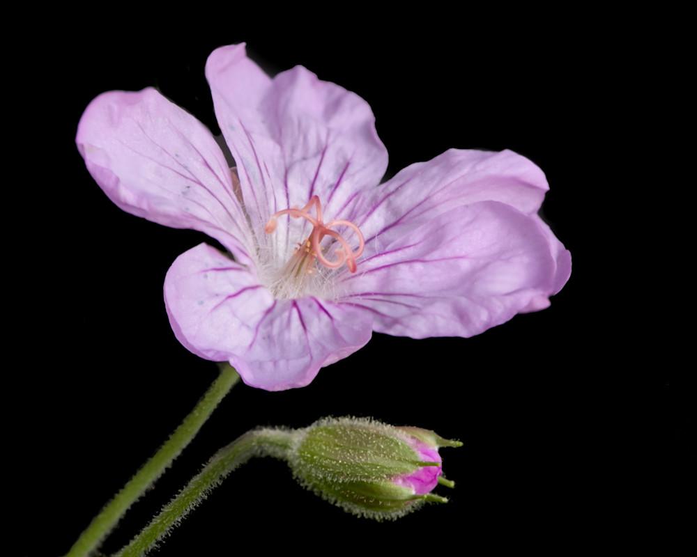 A geranium and her bud