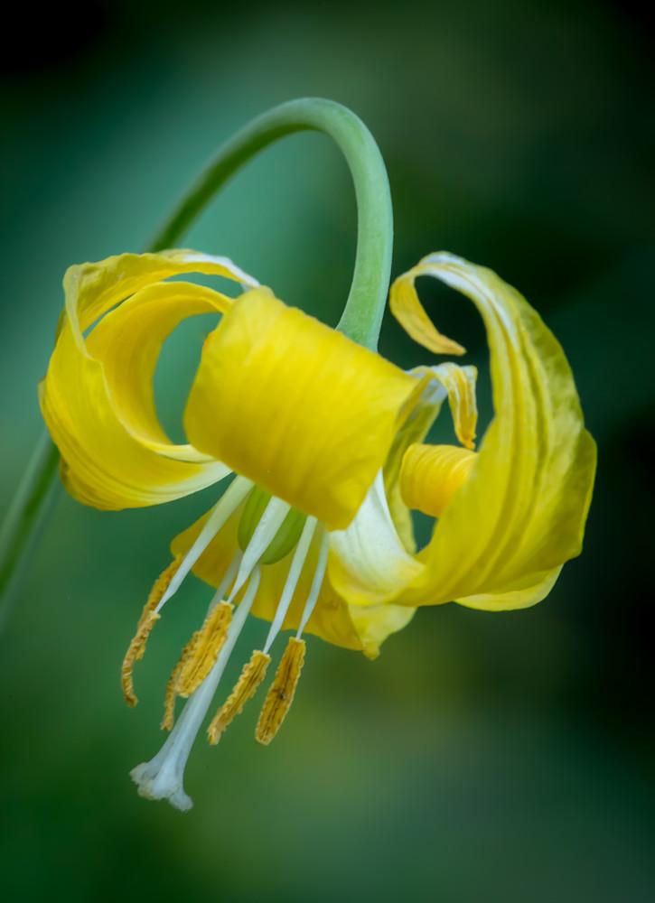 Glacier Lily Pose