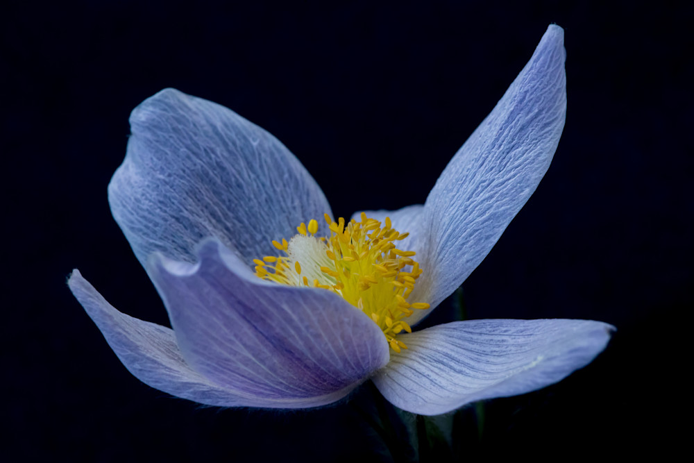 Open Pasqueflower Art | Kirk Fry Photography, LLC