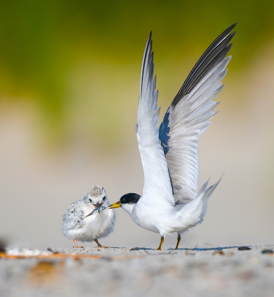 Tern Chick Feeding