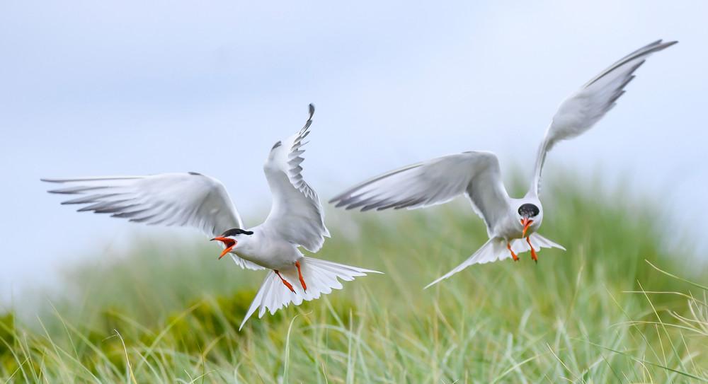 Common Terns_In Flight