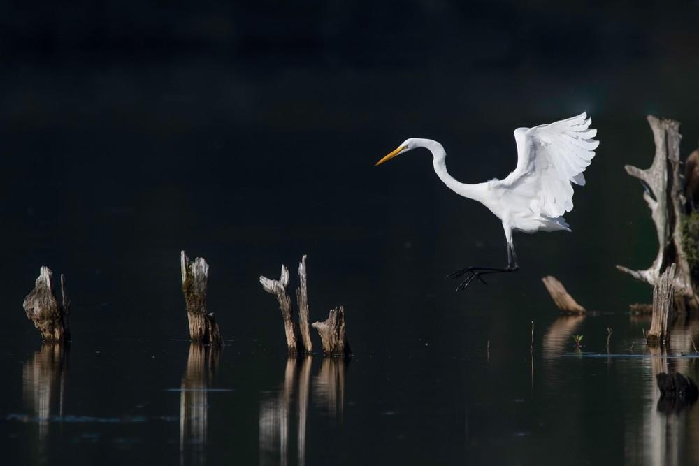Great Egret   At Sunrise Photography Art | Sarah E. Devlin Photography