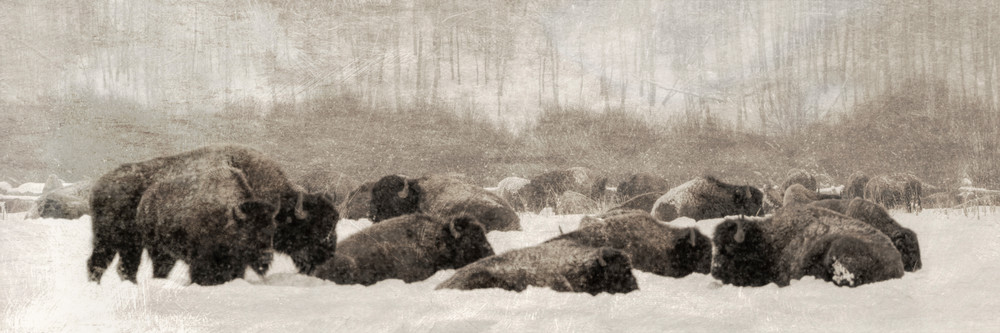Bison in snow in the Tetons