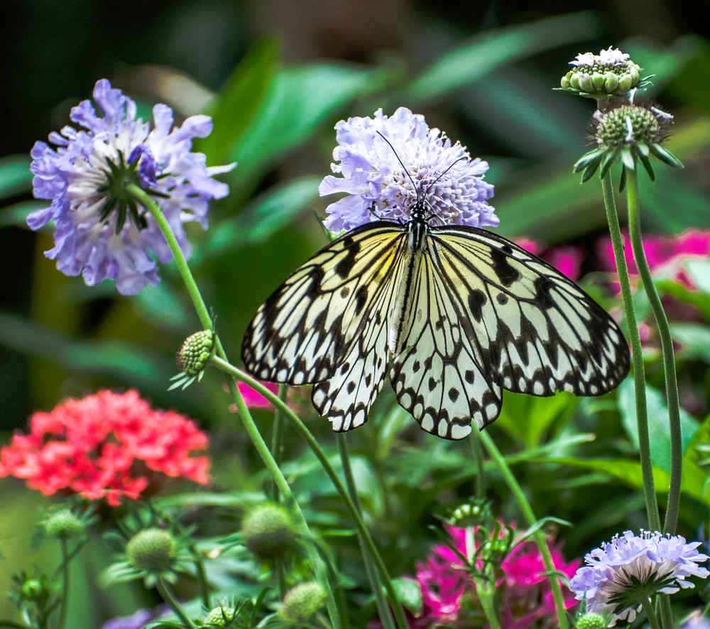 White-Butterfly-in-Garden