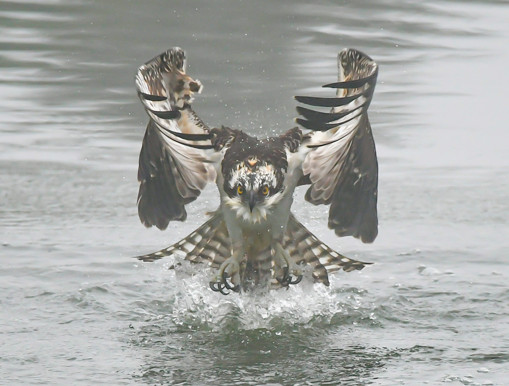 Osprey - Water Take Off