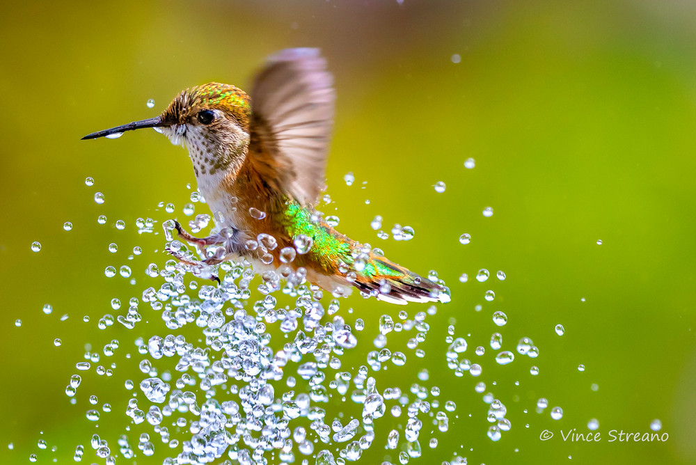 A female Rufous hummingbird takes a summer shower in a backyard birdbath.