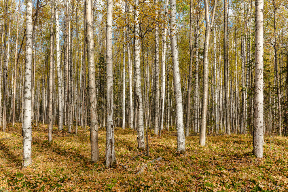 Birch tree forest in autumn colors in Southcentral Alaska. Afternoon.