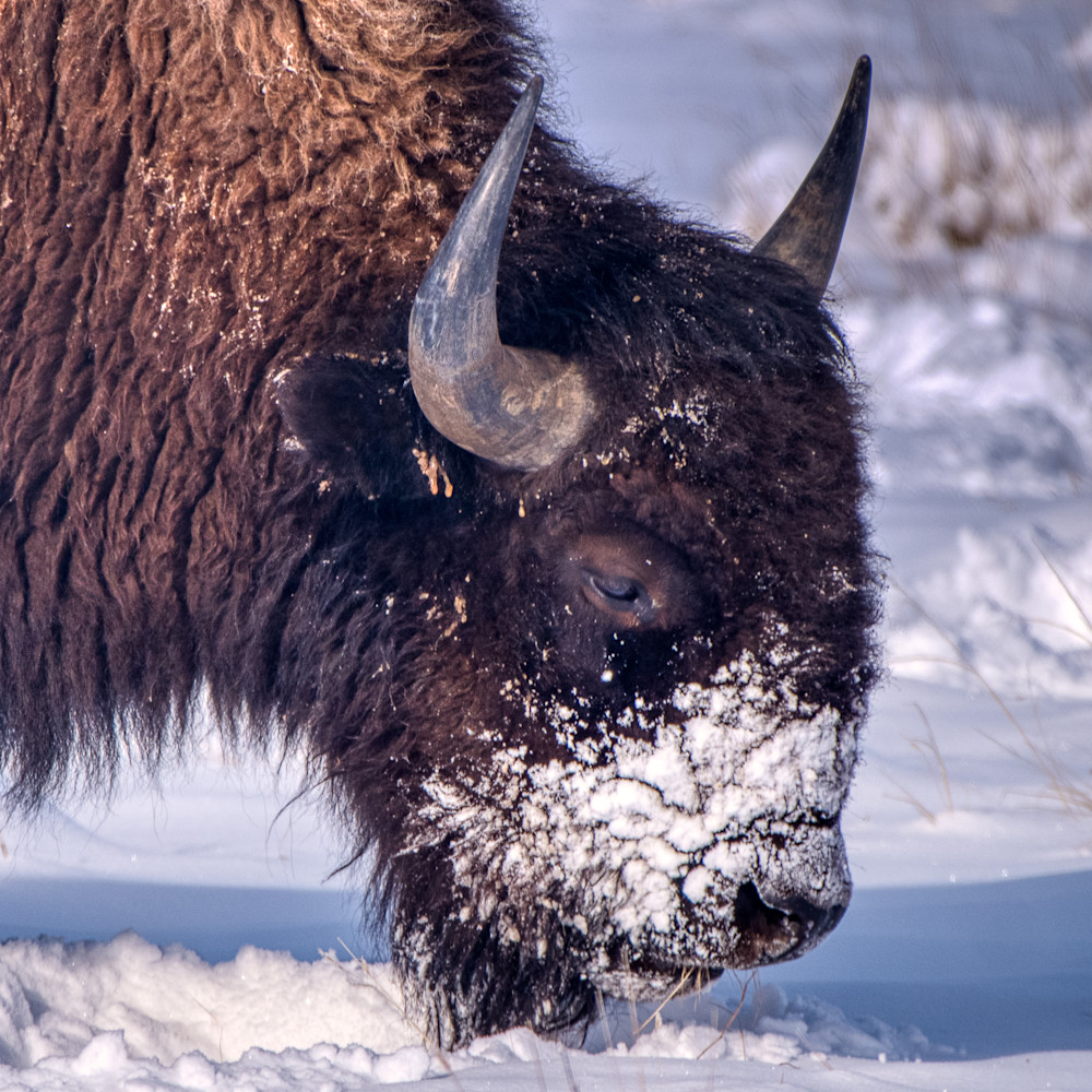 Bison in the snow III
