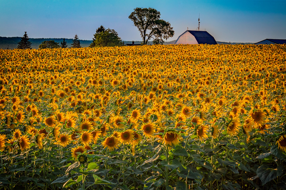 The Sunflower Field | Shop Photography by Rick Berk