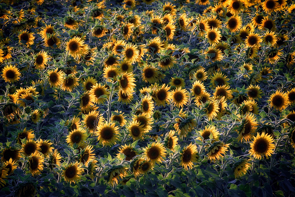 Sunflowers | Shop Photography by Rick Berk