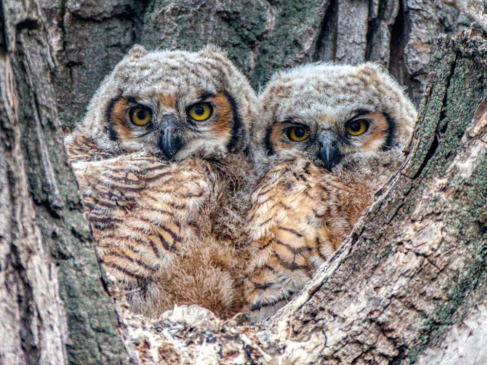 Owlets in their nest