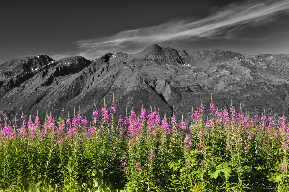 Fireweed - Selective Color