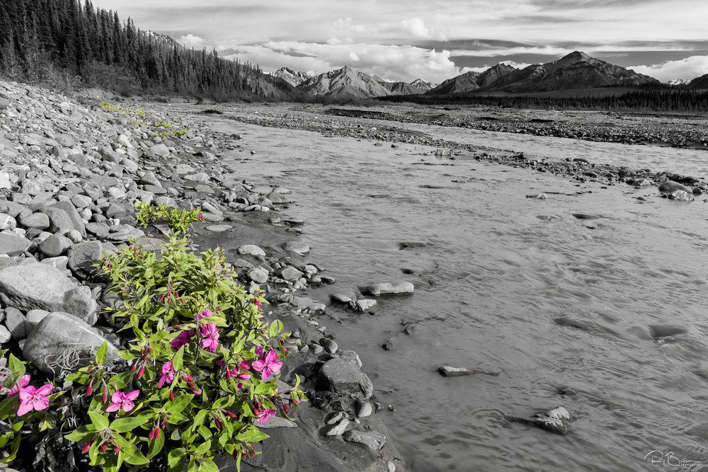 River Beauty or Dwarf Fireweed (Epilobium latifolium) wildflowers grow along the rocky banks of Teklanika River in Denali National Park in Southcentral Alaska. Summer. Evening.