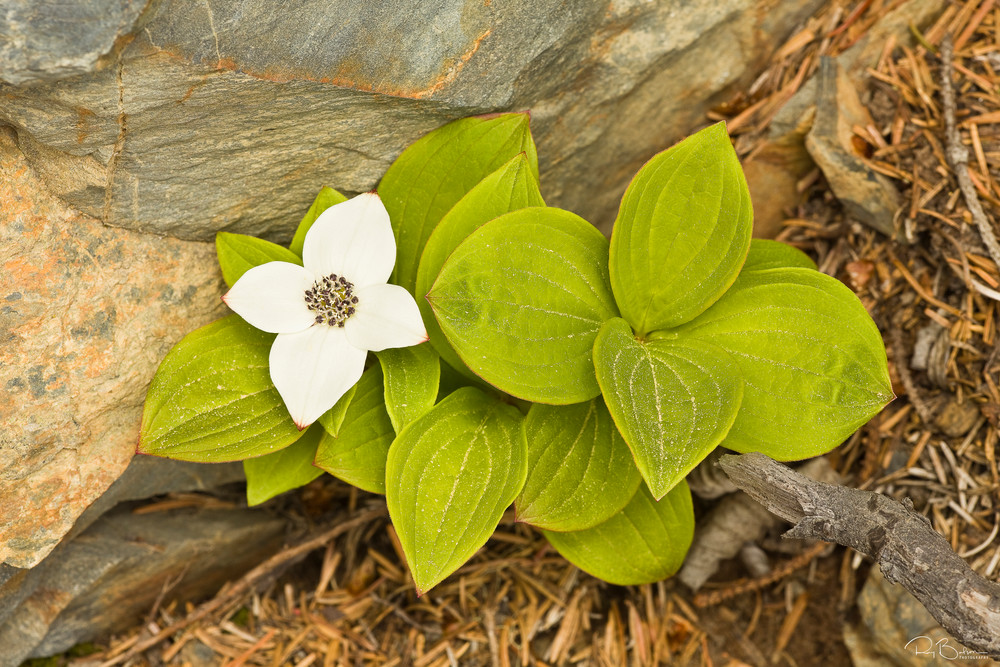 Closeup of flower of Dwarf Dogwood (Bunchberry) at Lowell Point on the Kenai Peninsula near Seward in Southcentral Alaska. Spring. Morning.