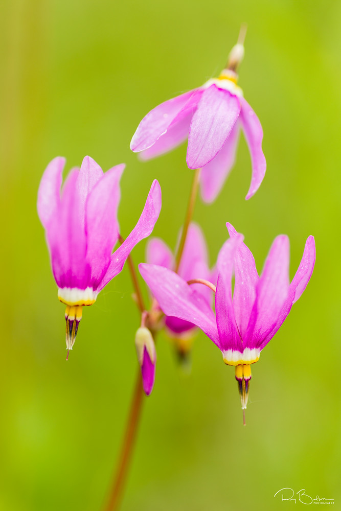 Closeup of Shooting Star (Dodecatheon pulchellum) wildflowers in late spring at Eklutna Flats in Southcentral Alaska. Afternoon.