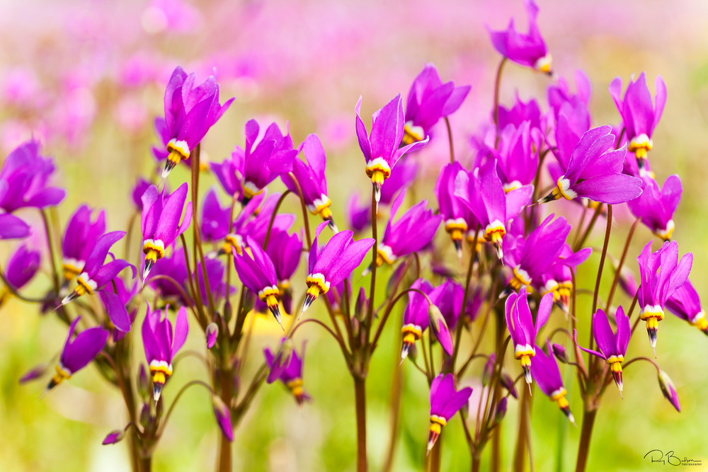 Closeup of Shooting Stars (Dodecatheon pulchellum) in late spring at Eklutna Flats in Southcentral Alaska. Afternoon.