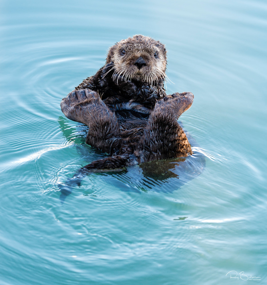 Sea Otter (Enhydra lutris) preening in Seward Boat Harbor on the Kenai Peninsula in Southcentral Alaska. Spring. Evening.