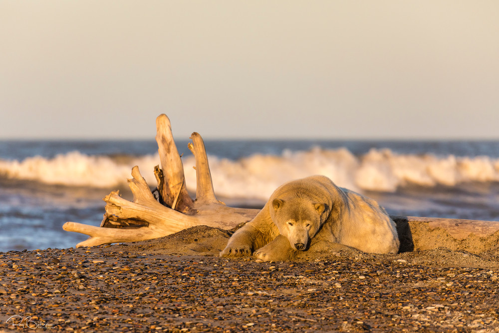 The setting sun illuminates a Polar Bear (Ursus maritimus) resting along the Beaufort Sea waiting for the ocean to freeze to forage for seals in Kaktovik, Alaska. Autumn.