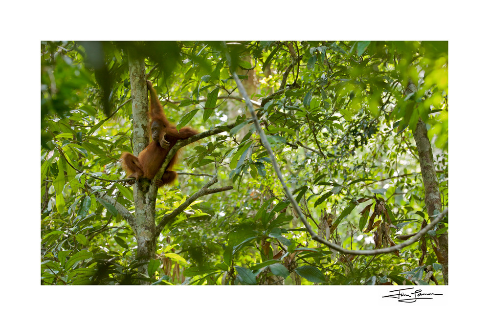 A young orangutan lounging in the lush rain forest.  Photographic art print available for your home.