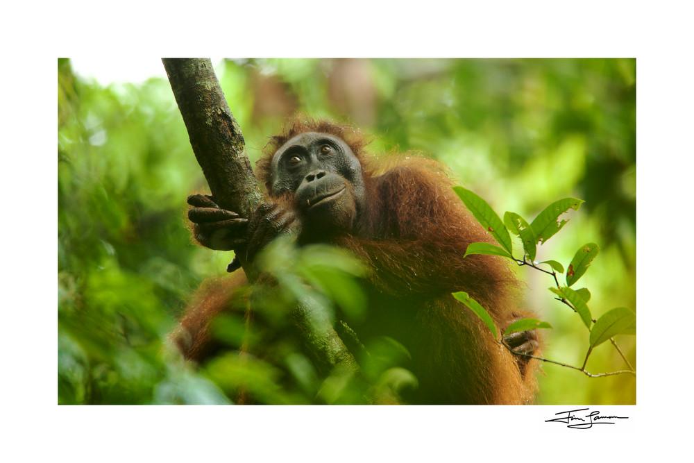 Bornean Orangutan female contemplating life in the rain forest.