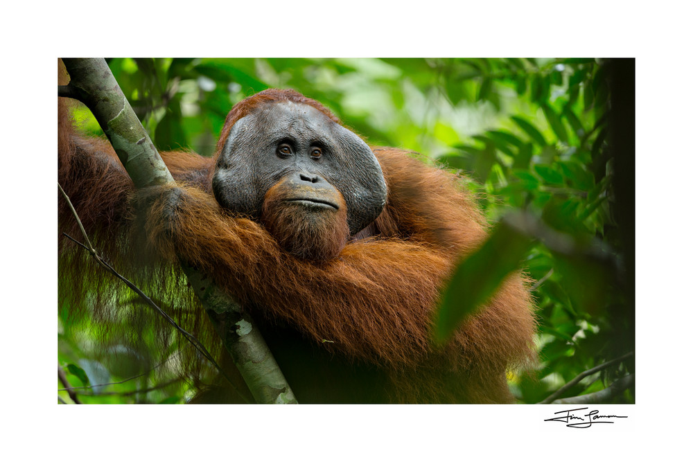 Large adult male is king of the Indonesian jungle.  Orangutan photograph fine art for your home.