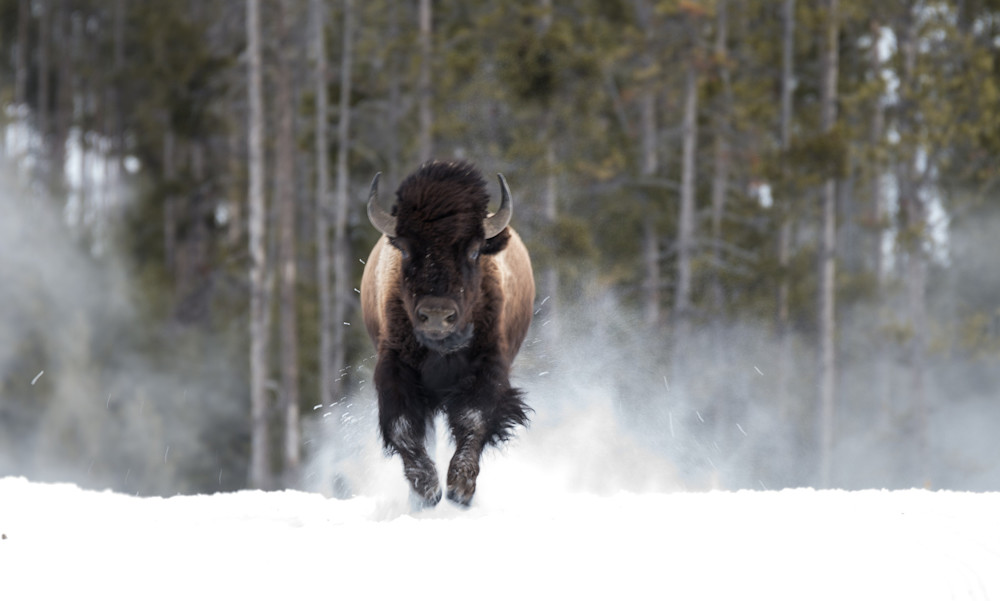 Bison Running Art | Drew Campbell Photography