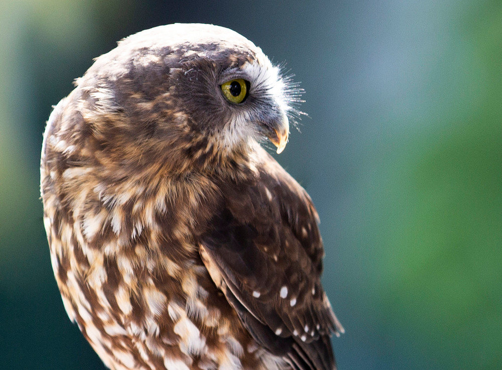 Nature, Birds, Wildlife, New, Zealand, Falcon
