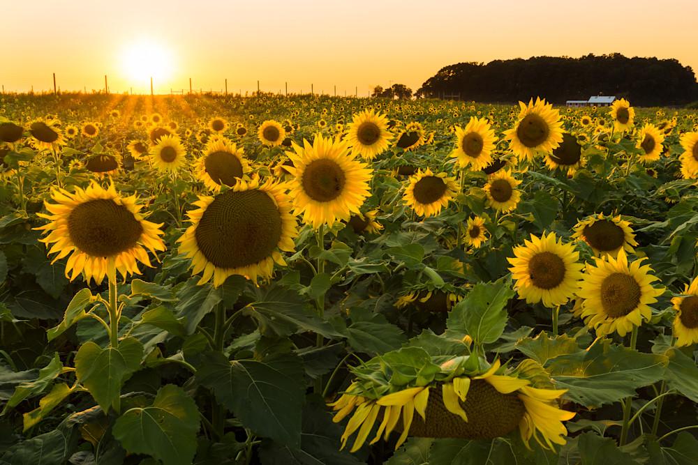 Sunflowers with Barn