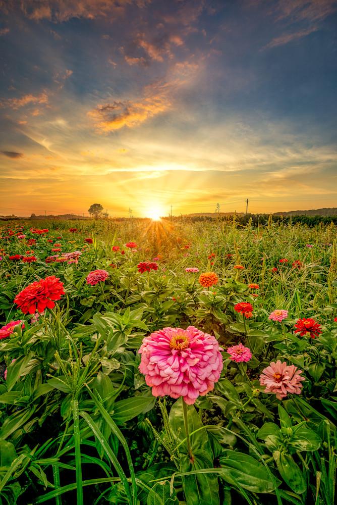 Zinnia Sunset