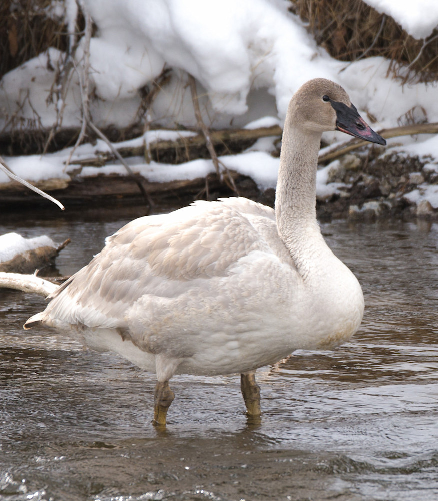 Snow Goose In Yellowstone National Park Art | Drew Campbell Photography