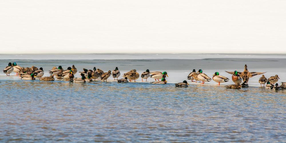 Duck Party Photography Art | Craig Primas Photography