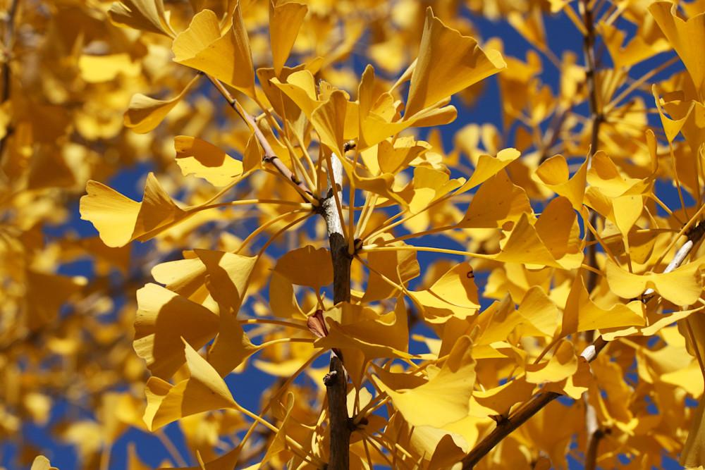 Ginkgo Leaves At Citygarden Art | Moore Design Group