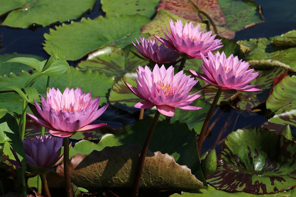 Pink Waterlily Art | Moore Design Group