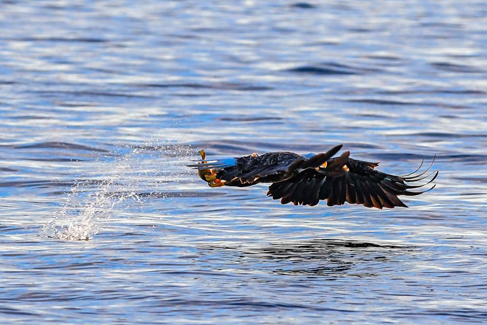 Bald eagle scores a fish - photography prints