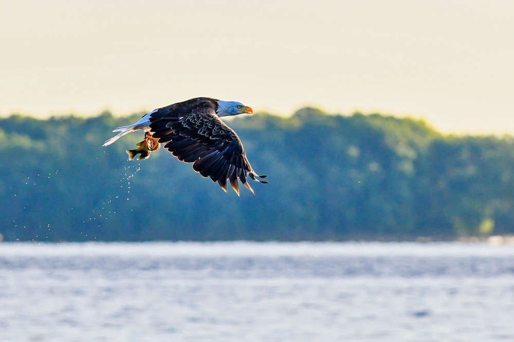 Bald eagle flies away with a fish - photography print