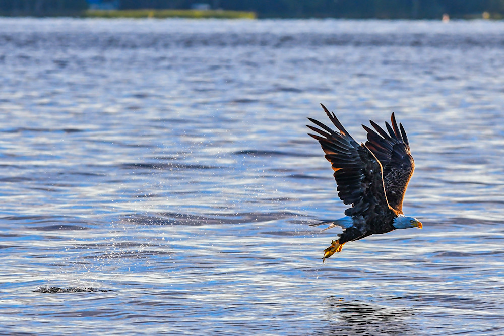 Bald Eagle's Reward fine-art photography prints