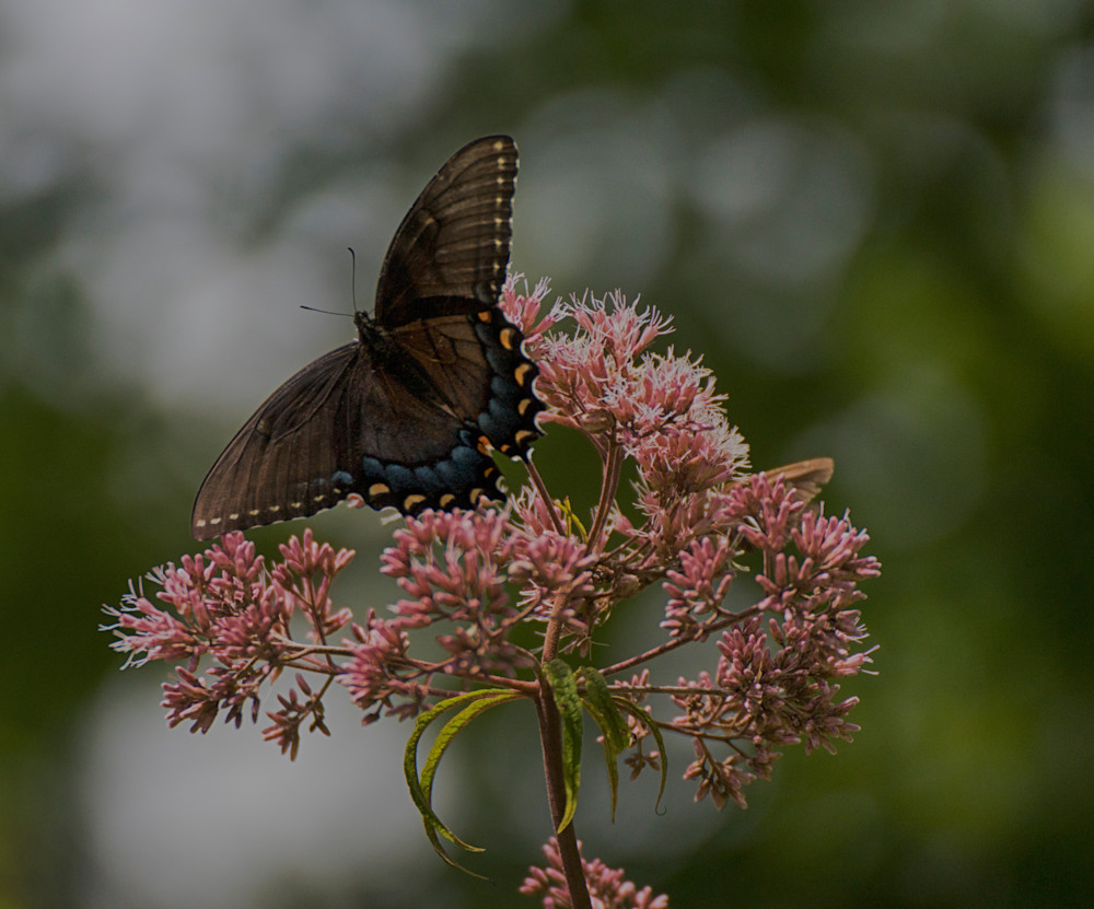 Butterfly On Joe Pye Weed Art | Drew Campbell Photography