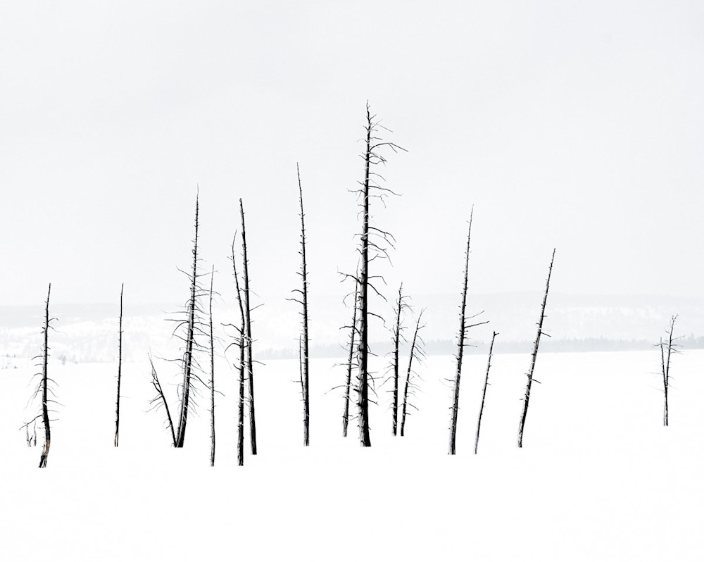 Trees In Yellowstone Art | Drew Campbell Photography