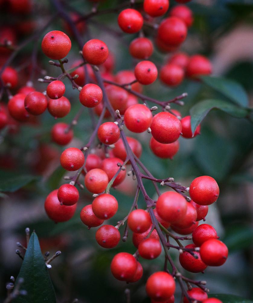 Nandina Berries Art | Drew Campbell Photography