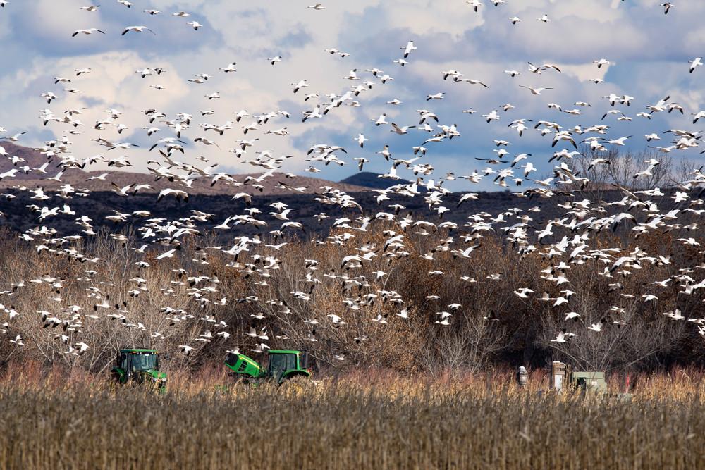 Circling Snow Geese Photography Art | Craig Primas Photography