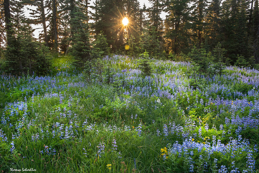 Meadow of Lupine Cones | Mt Rainier National Park Photo Art prints to purchase