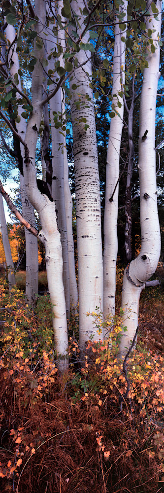 Aspen Stand Photography Art | Craig Primas Photography
