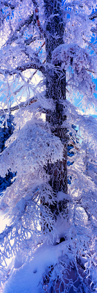Hoarfrost Pine Photography Art | Craig Primas Photography