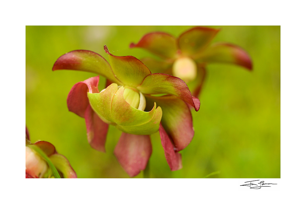 Photo of pitcher plant flowers on fine art paper available for purchase for your home.