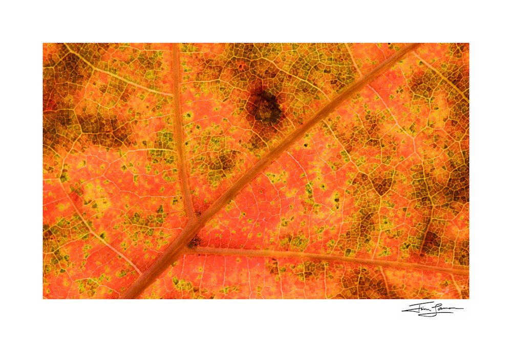 Photograph of a closeup maple leave in fall colors printed on fine art paper.