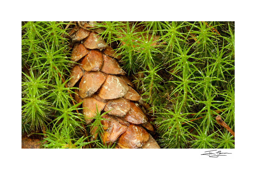 Closeup photo of a pine cone surrounded by club mosses.