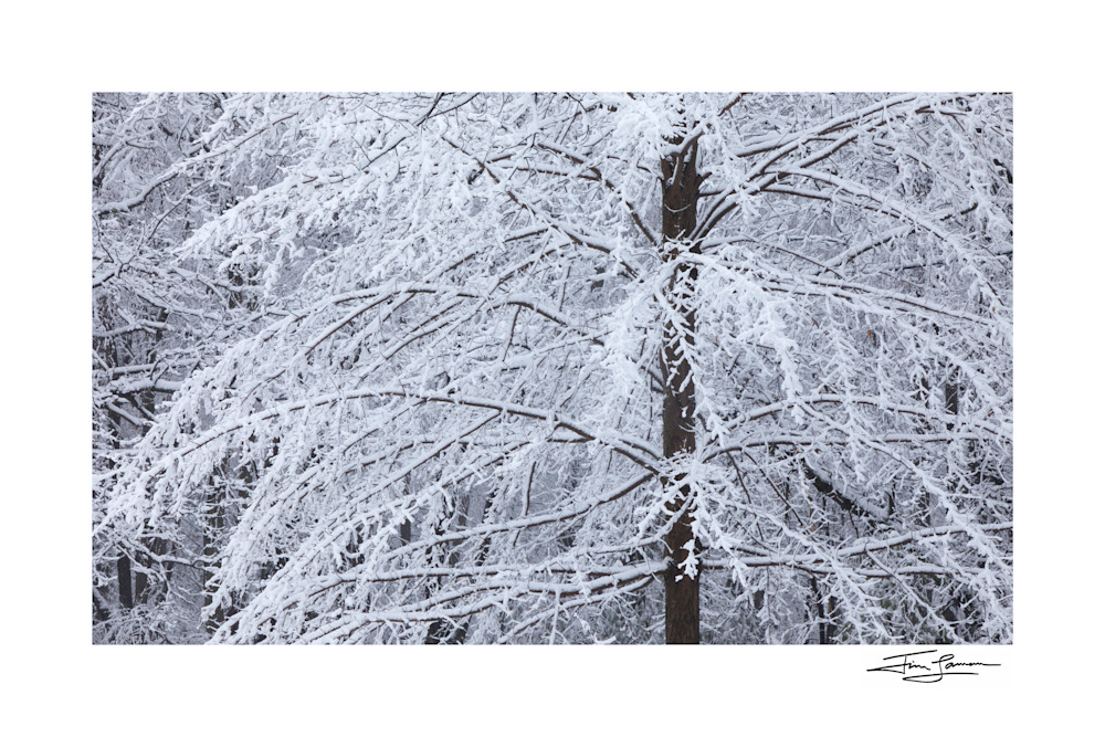 Photo of snow on a tree in winter.