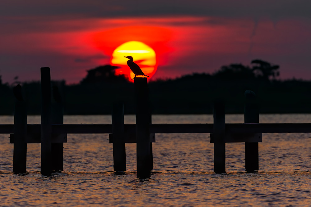 Cormorant In Brant Photography Art | danieldauria